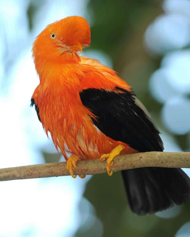 Ave en el Parque Nacional del Manu - iquitos
