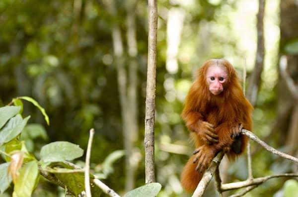 Mono en la selva cerca de Iquitos Perú en la selva amazónica peruana