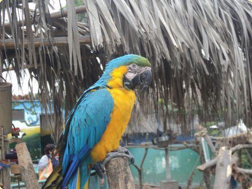 Guacamayo azul y amarillo - Parque de las Leyendas