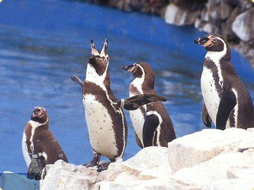 Pingüinos de Humboldt - Parque de las Leyendas