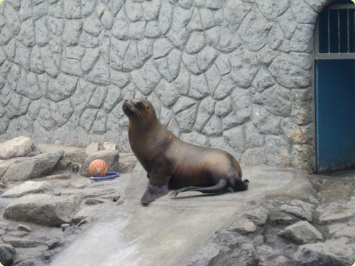 Sea Lion - Parque de las Leyendas